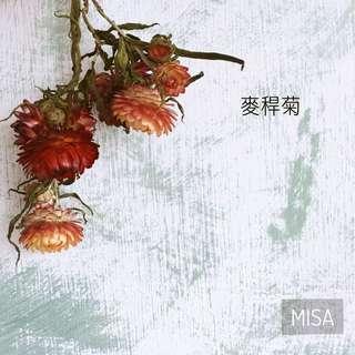 麥桿菊 乾燥花