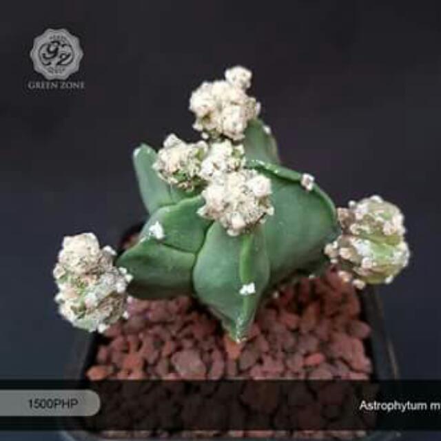 FOR SALE: - Astrophytum myriostigma f. nudum prolifera - 2.5-inch pot size