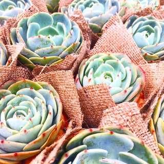 Succulents In Burlap