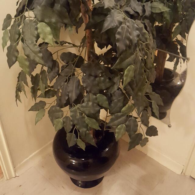 Black Vase Plant
