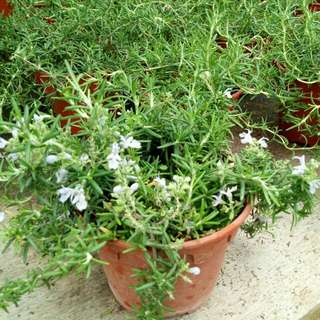 Trailing Fragrant Rosemary