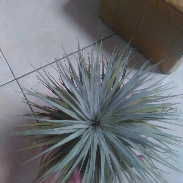 Houston Tillandsia