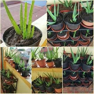 Aloe Vera Plant in plastic pots