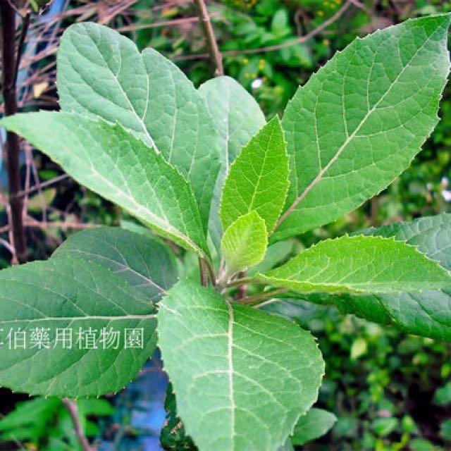 Bitter Leaf 南非叶药草 (Vernonia amygdalina), Gardening on ...