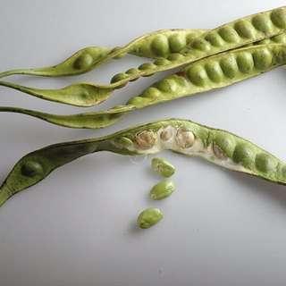Petai / Stink Bean Plant (Parkia speciosa)