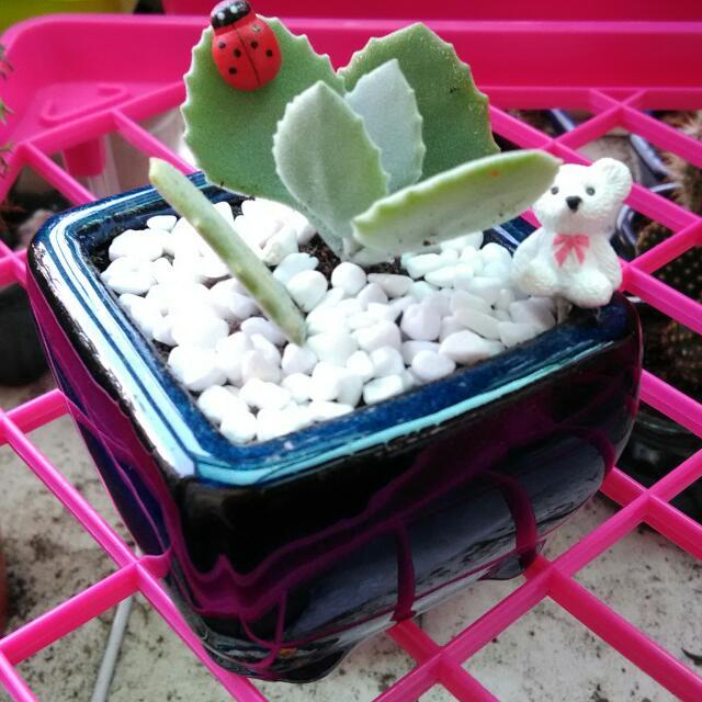 仙人掌多肉盆栽,迷你小盆景,陶瓷釉彩花盆