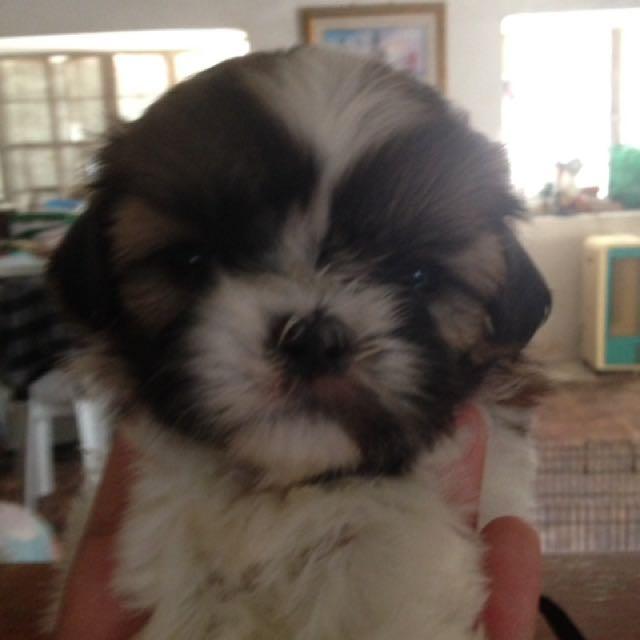 Shihtzu Puppy Female
