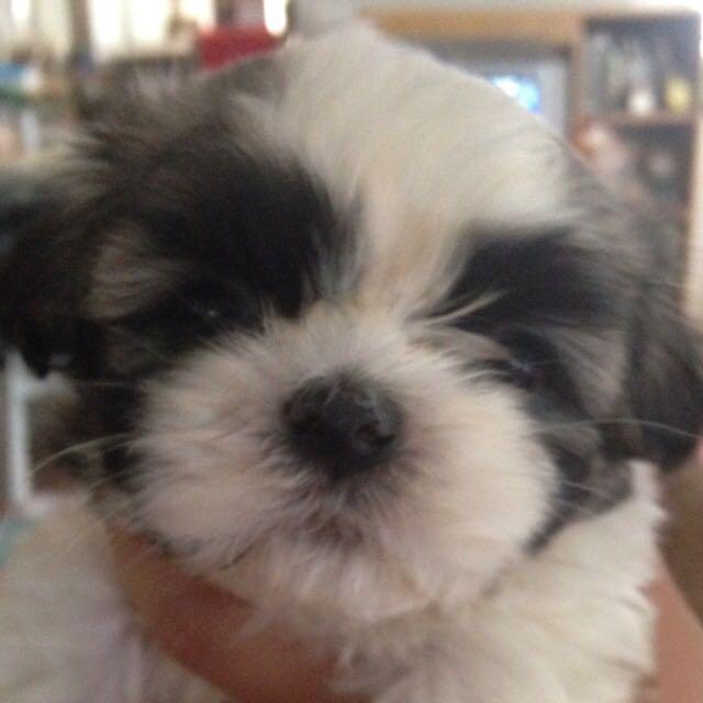 Shihtzu Puppy Male