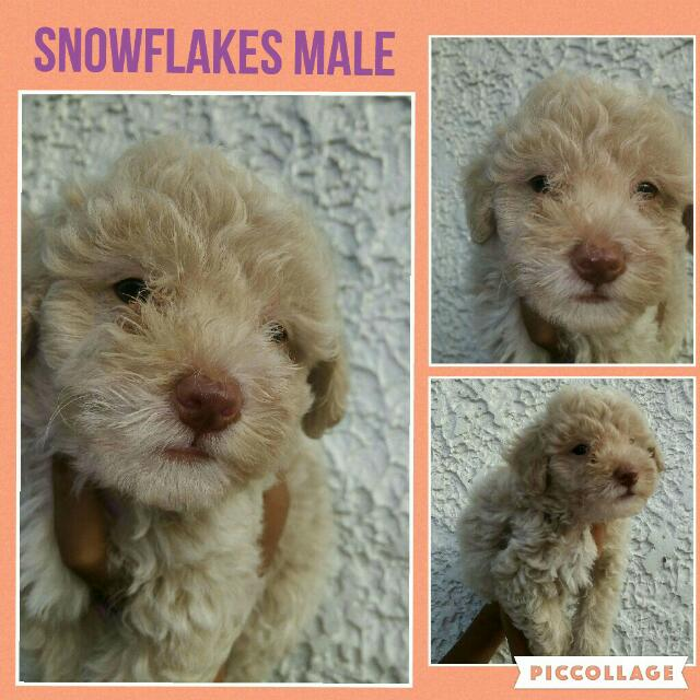 Toy Poodle X Shihpoo