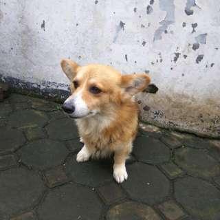 Dijual Anjing Welsh Corgi Jantan