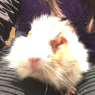 Re Homing  Male Baby Guinea Pig