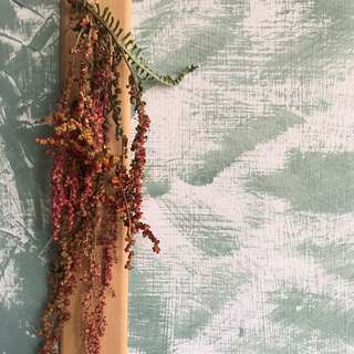 紅藜 乾燥