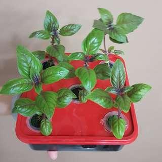 GreenGift : SG Mini Urban Farm - Hydroponic Beginner/Starter Farming Kit