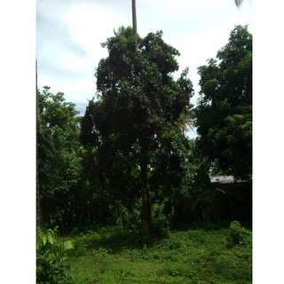Farm Lot Calauan, Laguna  (RUSH sale) 10,743sqm