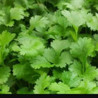 Coriander Seeds For Growing / Planting