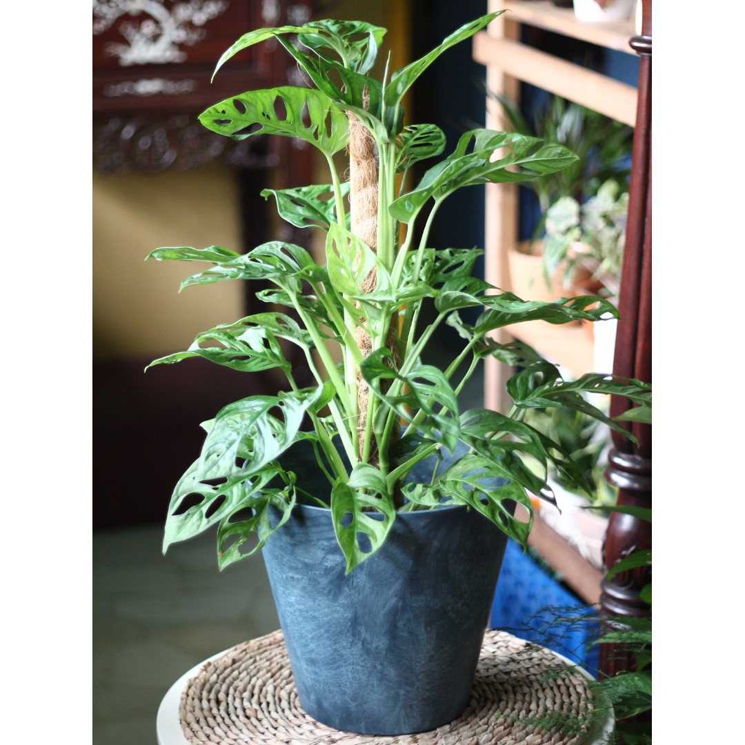 Potted Monstera Obliqua (Swiss Cheese Vine) with 1 5ft Coco Stick