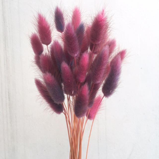 漸層粉藍兔尾草🍃