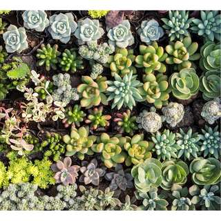 Succulent, Cacti, Plants. Large Variety of Succulents - Tube stock Plants