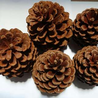 Family Of 5 Pine Cones