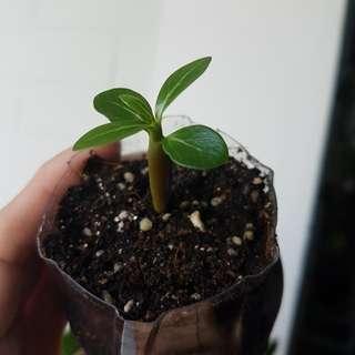 Adenium Aka 富贵花