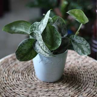 Potted Scindapsus pictus 'Exotica' (Philodendron silver/ Satin Pothos)