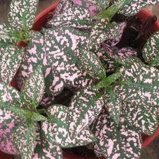 Plant - Asst. Hypoestes polka dot plant🍃(15cm Pot)
