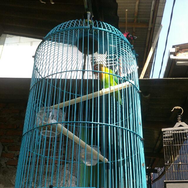 Jual Full Sett Burung Love Bird