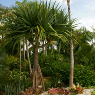 Pokok Mengkuang Pandan / Pandanus Tectorius (Screw Pine)