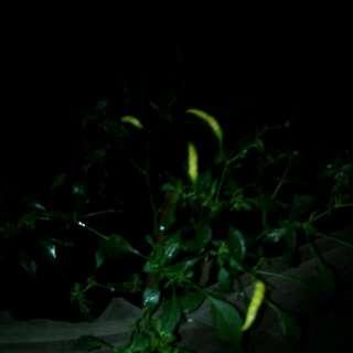 Pohon Cabai Rawit Dan Keriting