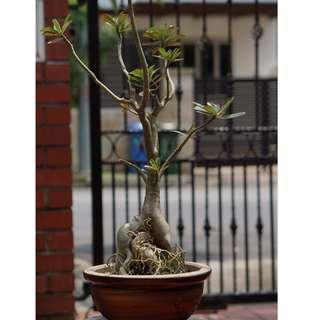 (#4) Adenium - Desert Rose