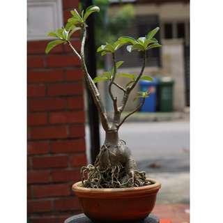 (#6) Adenium - Desert Rose