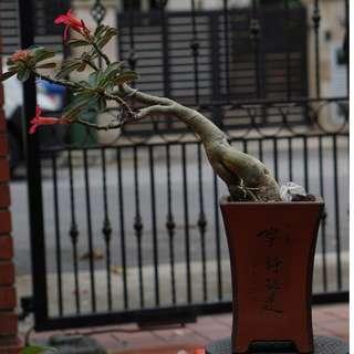 (#Cascade) Adenium - Desert Rose