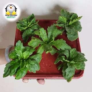 Mini Urban Vegetable (Tang O) Farm - Hydroponic Intermediate Level Farming Kit