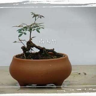 南天竹 盆景 盆栽 11cm