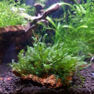 Matured Fissiden Moss On Lava Rock Aquarium