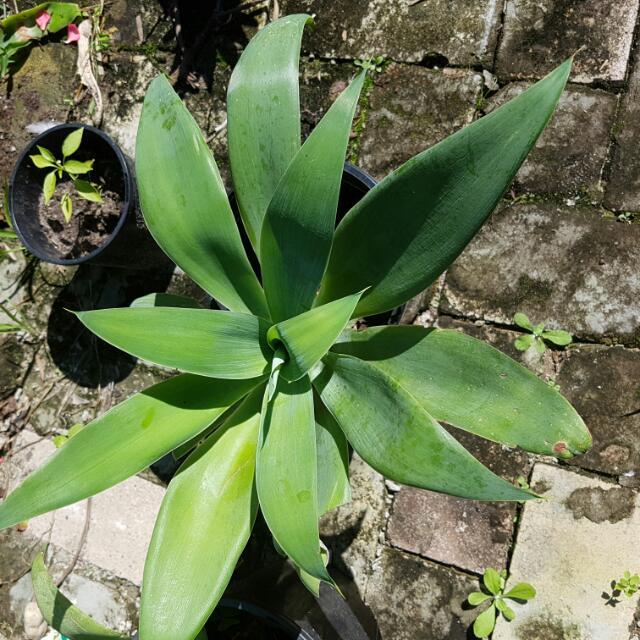 Argave Indoor Or Outdoor Plants