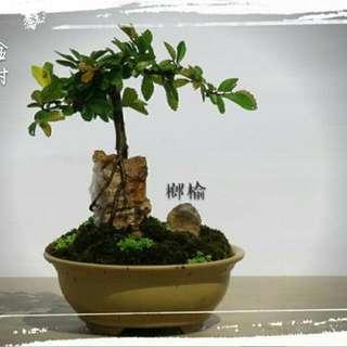 榔榆 盆景 盆栽 18cm