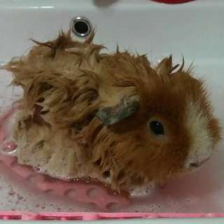 Guinea Pigs Grooming & Boarding Services In Simei (East)