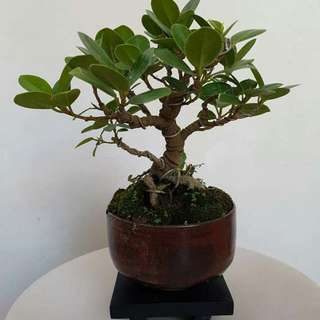 Bonsai Shohin (small)