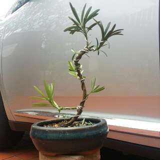 Luohan Pine Mini Bonsai