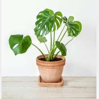 Monstera (Indoor Plant)