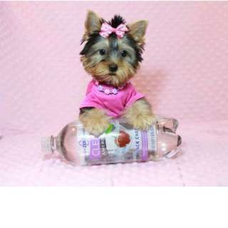 Adorable Tea Cup Yorkie Puppy