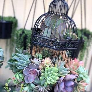 Succulents Arrangement In Birdcages