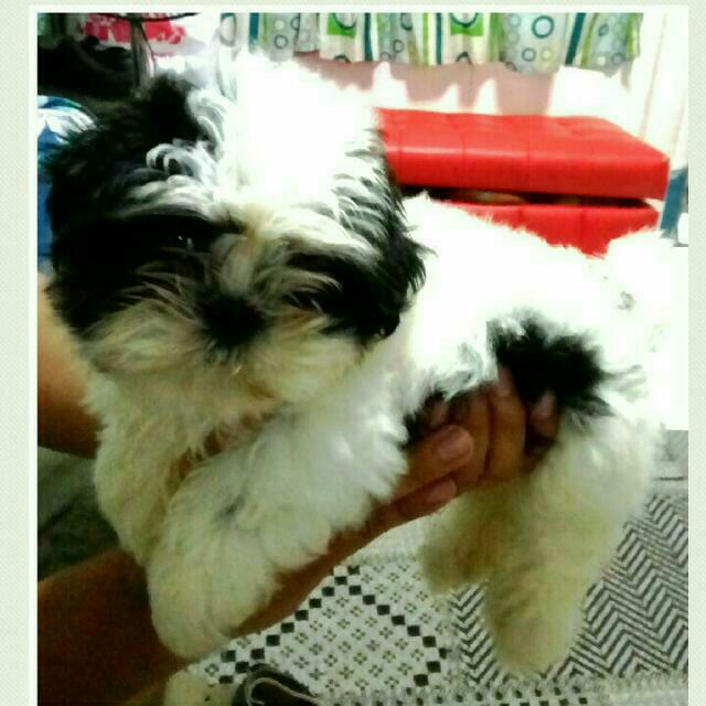 ***RE-PRICED*** Quality Shih Tzus