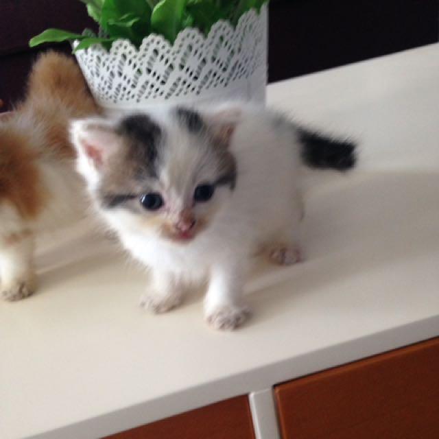 Kitten Flatnose