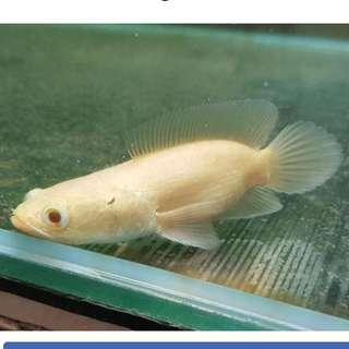 "4""~5"" Short Body Albino Channa For Sale"