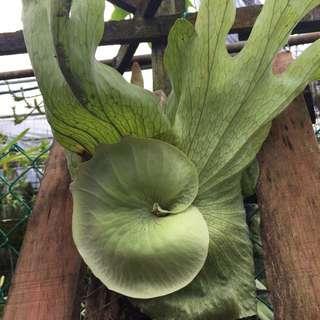 Platycerium Wandae Staghorn Fern