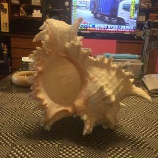 貝殼~大千手大骨螺