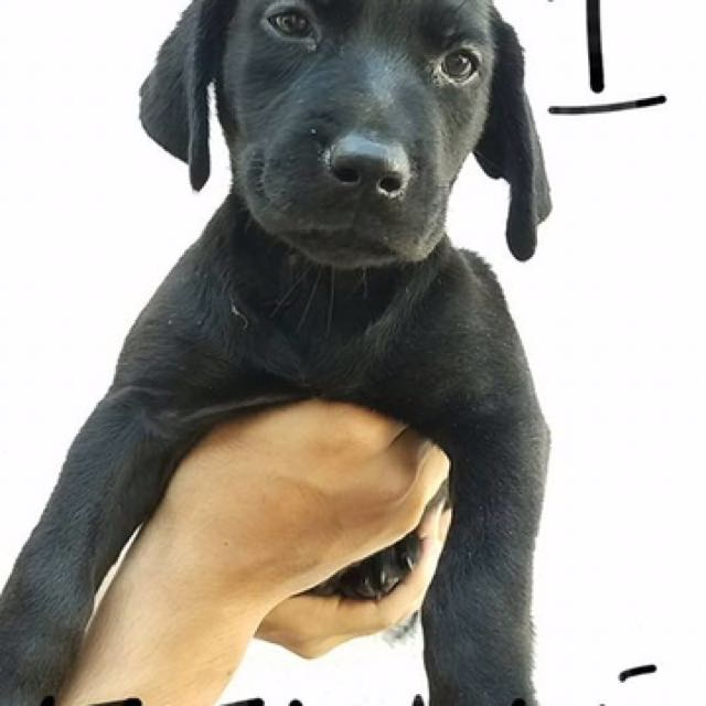 Black Labrador With Papers