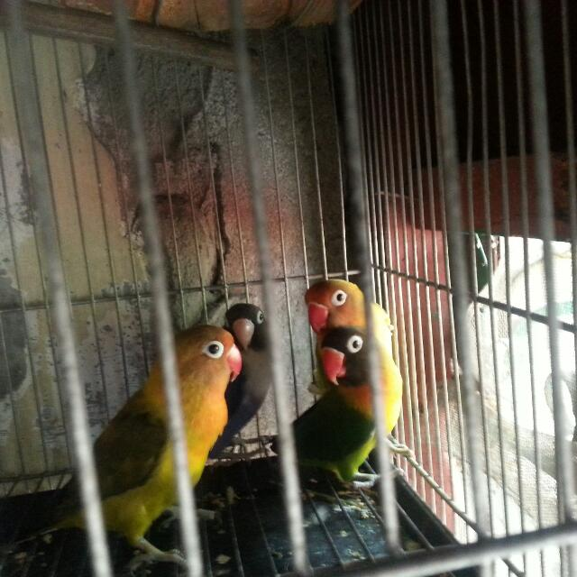 2pairs eyering  10 months old Pagkage w/ single cage.